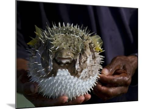 A Man Holds a Puffer Fish-Michael Melford-Mounted Photographic Print