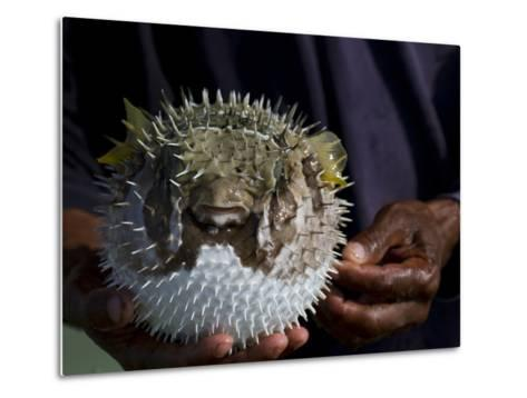 A Man Holds a Puffer Fish-Michael Melford-Metal Print