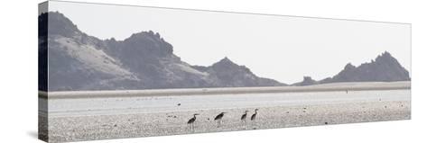 Shorebirds at Detwah Lagoon-Michael Melford-Stretched Canvas Print