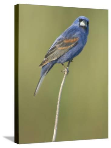 Male Blue Grosbeak, Guiraca Caerulea, in Breeding Plumage-Paul Sutherland-Stretched Canvas Print
