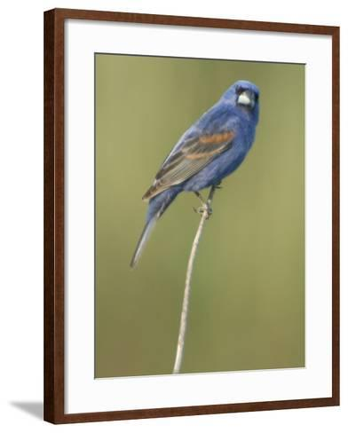 Male Blue Grosbeak, Guiraca Caerulea, in Breeding Plumage-Paul Sutherland-Framed Art Print