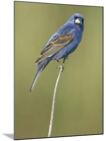Male Blue Grosbeak, Guiraca Caerulea, in Breeding Plumage-Paul Sutherland-Mounted Photographic Print
