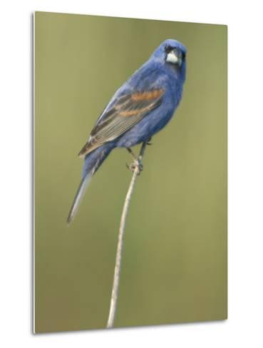 Male Blue Grosbeak, Guiraca Caerulea, in Breeding Plumage-Paul Sutherland-Metal Print