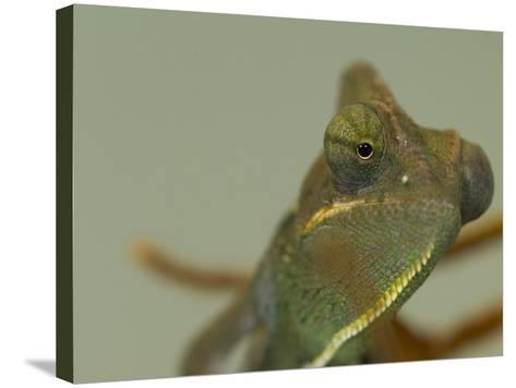 Close Up of a Veiled Chameleon, Chamaeleo Calyptratus-Paul Sutherland-Stretched Canvas Print