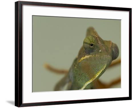 Close Up of a Veiled Chameleon, Chamaeleo Calyptratus-Paul Sutherland-Framed Art Print