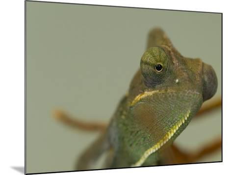 Close Up of a Veiled Chameleon, Chamaeleo Calyptratus-Paul Sutherland-Mounted Photographic Print
