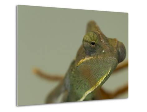 Close Up of a Veiled Chameleon, Chamaeleo Calyptratus-Paul Sutherland-Metal Print