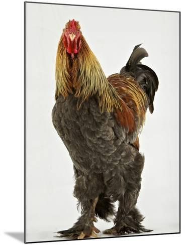 A Blue Partridge Brahma, a Rare Breed of Chicken from Tatton Park Farm-Jim Richardson-Mounted Photographic Print