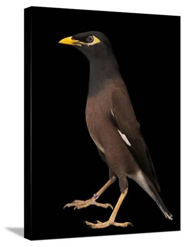 A Common Myna or Indian Myna, Acridotheres Tristis-Joel Sartore-Stretched Canvas Print