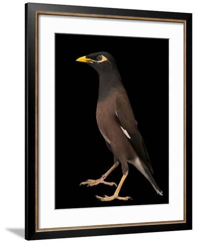 A Common Myna or Indian Myna, Acridotheres Tristis-Joel Sartore-Framed Art Print