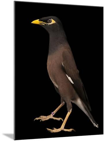 A Common Myna or Indian Myna, Acridotheres Tristis-Joel Sartore-Mounted Photographic Print