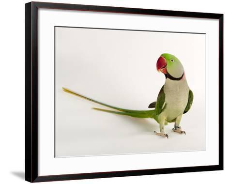 Alexandrine Parakeet, Psittacula Eupatria-Joel Sartore-Framed Art Print