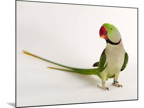 Alexandrine Parakeet, Psittacula Eupatria-Joel Sartore-Mounted Photographic Print