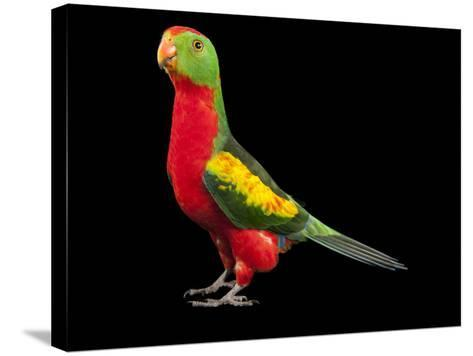 An Australian King Parrot Crossed with a Red-Winged Parrot-Joel Sartore-Stretched Canvas Print