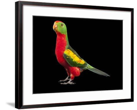 An Australian King Parrot Crossed with a Red-Winged Parrot-Joel Sartore-Framed Art Print