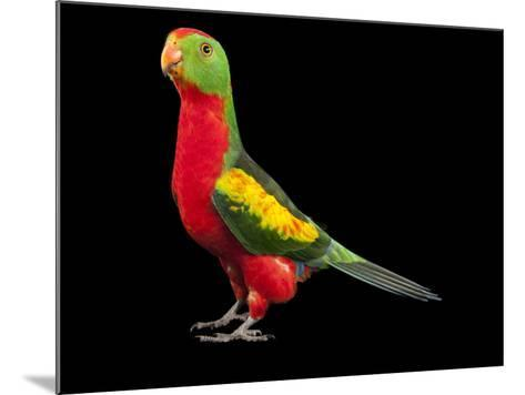 An Australian King Parrot Crossed with a Red-Winged Parrot-Joel Sartore-Mounted Photographic Print