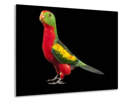 An Australian King Parrot Crossed with a Red-Winged Parrot-Joel Sartore-Metal Print