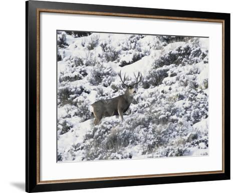 A Buck Mule Deer, Odocoileus Hemionus-Greg Winston-Framed Art Print