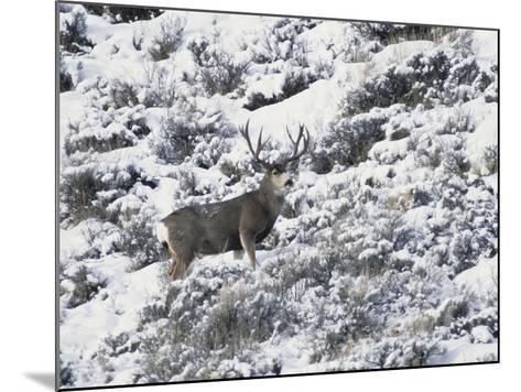 A Buck Mule Deer, Odocoileus Hemionus-Greg Winston-Mounted Photographic Print