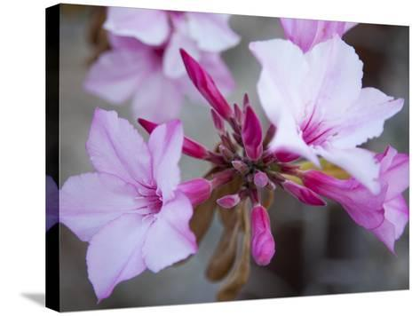 Flowers of a Desert Rose Tree-Michael Melford-Stretched Canvas Print