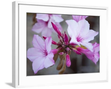 Flowers of a Desert Rose Tree-Michael Melford-Framed Art Print