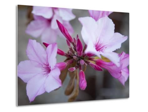 Flowers of a Desert Rose Tree-Michael Melford-Metal Print