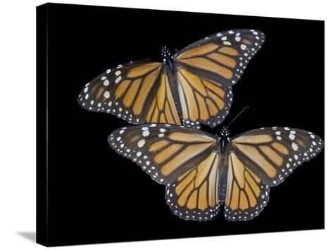 A Monarch Butterfly, Danaus Plexippus-Joel Sartore-Stretched Canvas Print