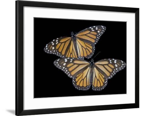 A Monarch Butterfly, Danaus Plexippus-Joel Sartore-Framed Art Print