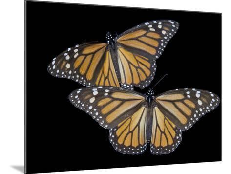 A Monarch Butterfly, Danaus Plexippus-Joel Sartore-Mounted Photographic Print