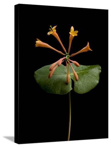 A Honeysuckle Plant, Lonicera Caprifolium-Joel Sartore-Stretched Canvas Print