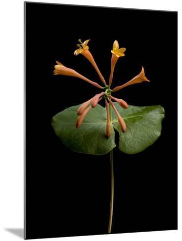 A Honeysuckle Plant, Lonicera Caprifolium-Joel Sartore-Mounted Photographic Print