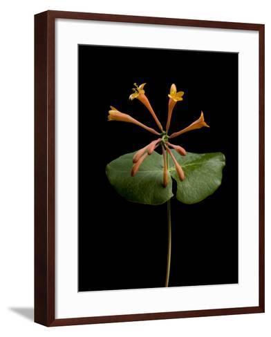 A Honeysuckle Plant, Lonicera Caprifolium-Joel Sartore-Framed Art Print