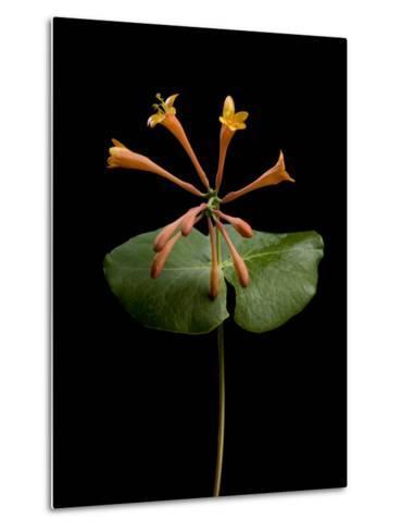 A Honeysuckle Plant, Lonicera Caprifolium-Joel Sartore-Metal Print