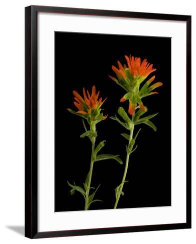 An Indian Paintbrush, Castilleja Coccinea-Joel Sartore-Framed Art Print