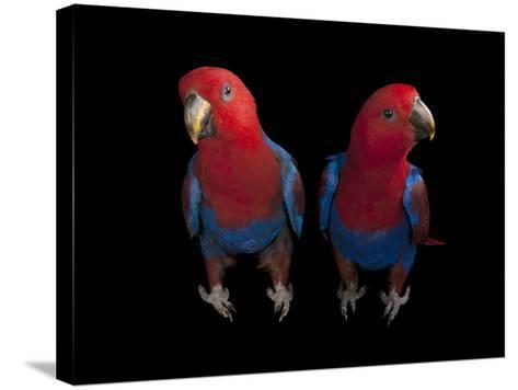 New Guinea Red-Sided Eclectus Parrots, Eclectus Roratus Polychloros-Joel Sartore-Stretched Canvas Print