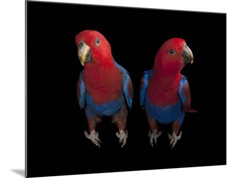 New Guinea Red-Sided Eclectus Parrots, Eclectus Roratus Polychloros-Joel Sartore-Mounted Photographic Print