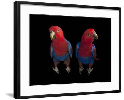 New Guinea Red-Sided Eclectus Parrots, Eclectus Roratus Polychloros-Joel Sartore-Framed Art Print