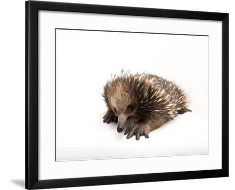 A Short-Beaked Echidna, Tachyglossus Aculeatus-Joel Sartore-Framed Art Print