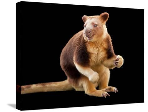 An Endangered Goodfellow's Tree-Kangaroo, Dendrolagus Goodfellowi-Joel Sartore-Stretched Canvas Print