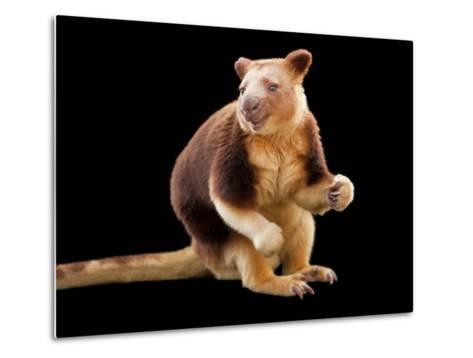 An Endangered Goodfellow's Tree-Kangaroo, Dendrolagus Goodfellowi-Joel Sartore-Metal Print