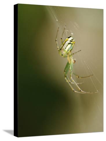 A Spider in its Silk Orb Web-Darlyne A^ Murawski-Stretched Canvas Print