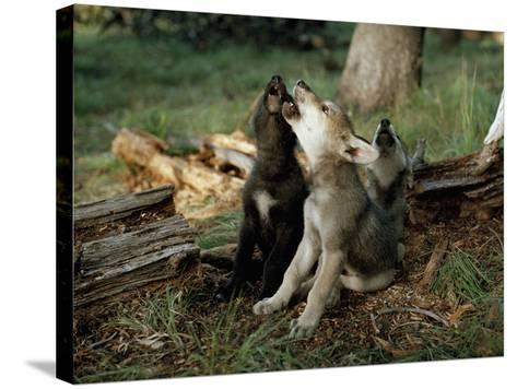 Three Young Male Gray Wolf Pups Howl-Jim And Jamie Dutcher-Stretched Canvas Print