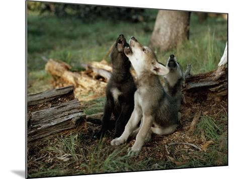 Three Young Male Gray Wolf Pups Howl-Jim And Jamie Dutcher-Mounted Photographic Print