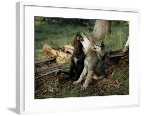 Three Young Male Gray Wolf Pups Howl-Jim And Jamie Dutcher-Framed Art Print