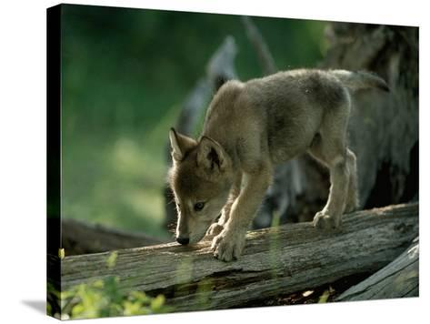 A Female Gray Wolf Pup Explores Log-Jim And Jamie Dutcher-Stretched Canvas Print