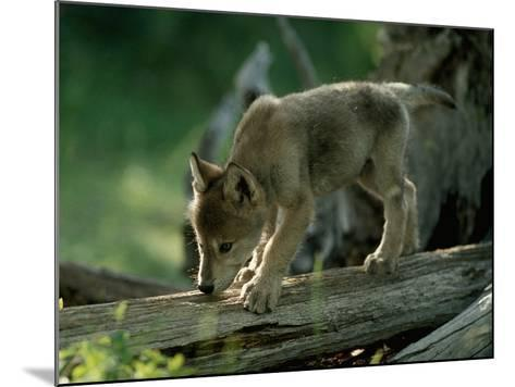 A Female Gray Wolf Pup Explores Log-Jim And Jamie Dutcher-Mounted Photographic Print