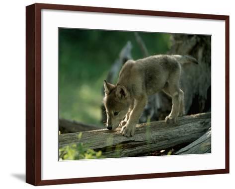 A Female Gray Wolf Pup Explores Log-Jim And Jamie Dutcher-Framed Art Print