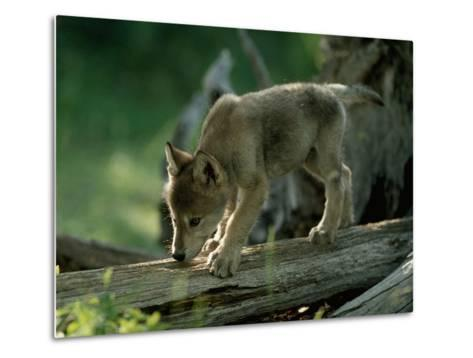 A Female Gray Wolf Pup Explores Log-Jim And Jamie Dutcher-Metal Print