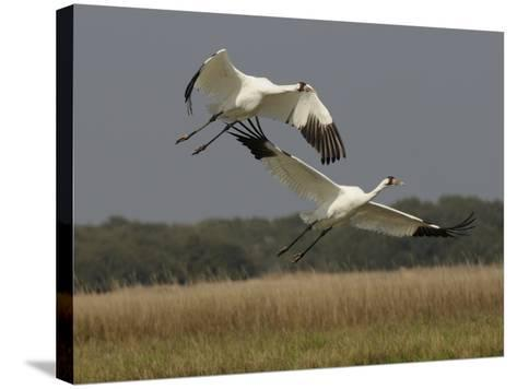 A Pair of Whooping Cranes Taking Off from Wintering Grounds-Klaus Nigge-Stretched Canvas Print