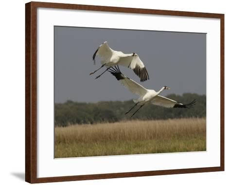 A Pair of Whooping Cranes Taking Off from Wintering Grounds-Klaus Nigge-Framed Art Print